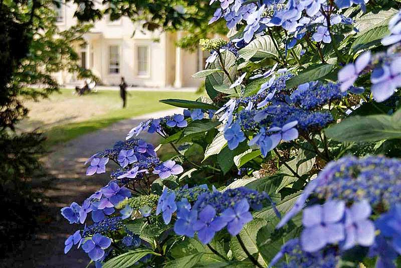 Violette Blüten der Hortensien wiegen sich im Sommerwind von Greenway Gardens
