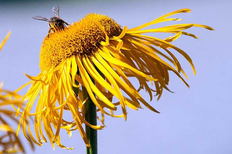 Honigbienen laben sich an den Sommerblumen