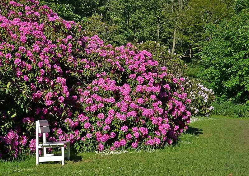 Weitläufige Parkanlagen mit über 150 Jahre altem, bis zu fünf Meter hohem Rhododendron